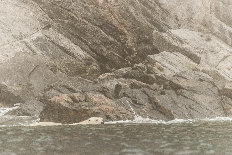 Stranded Polar Bear Swimming Along The Shoreline