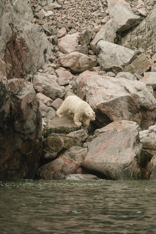 Stranded Polar Bear Entering The Sea