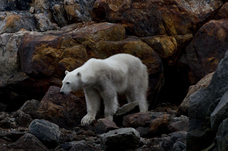 Portrait of a Starving Polar Bear