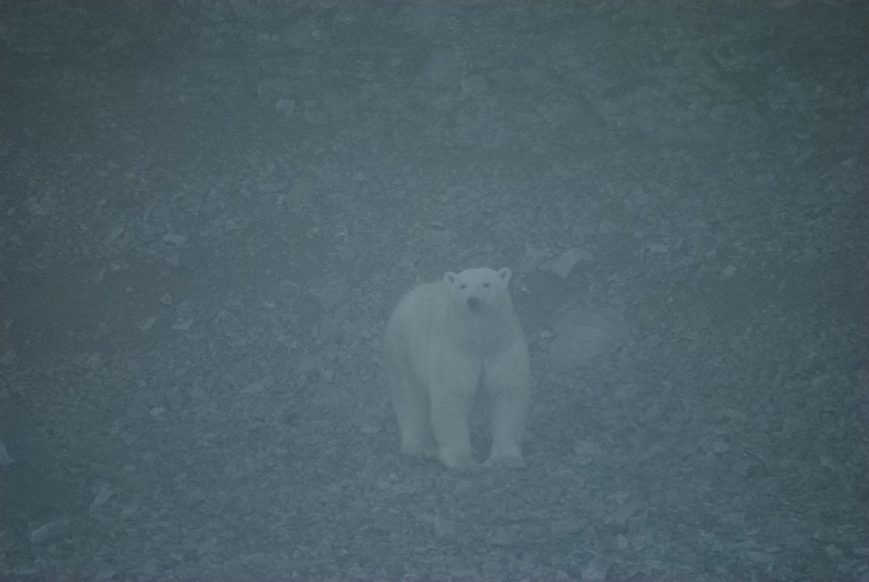 Stranded Polar Bear Emerging From the Fog