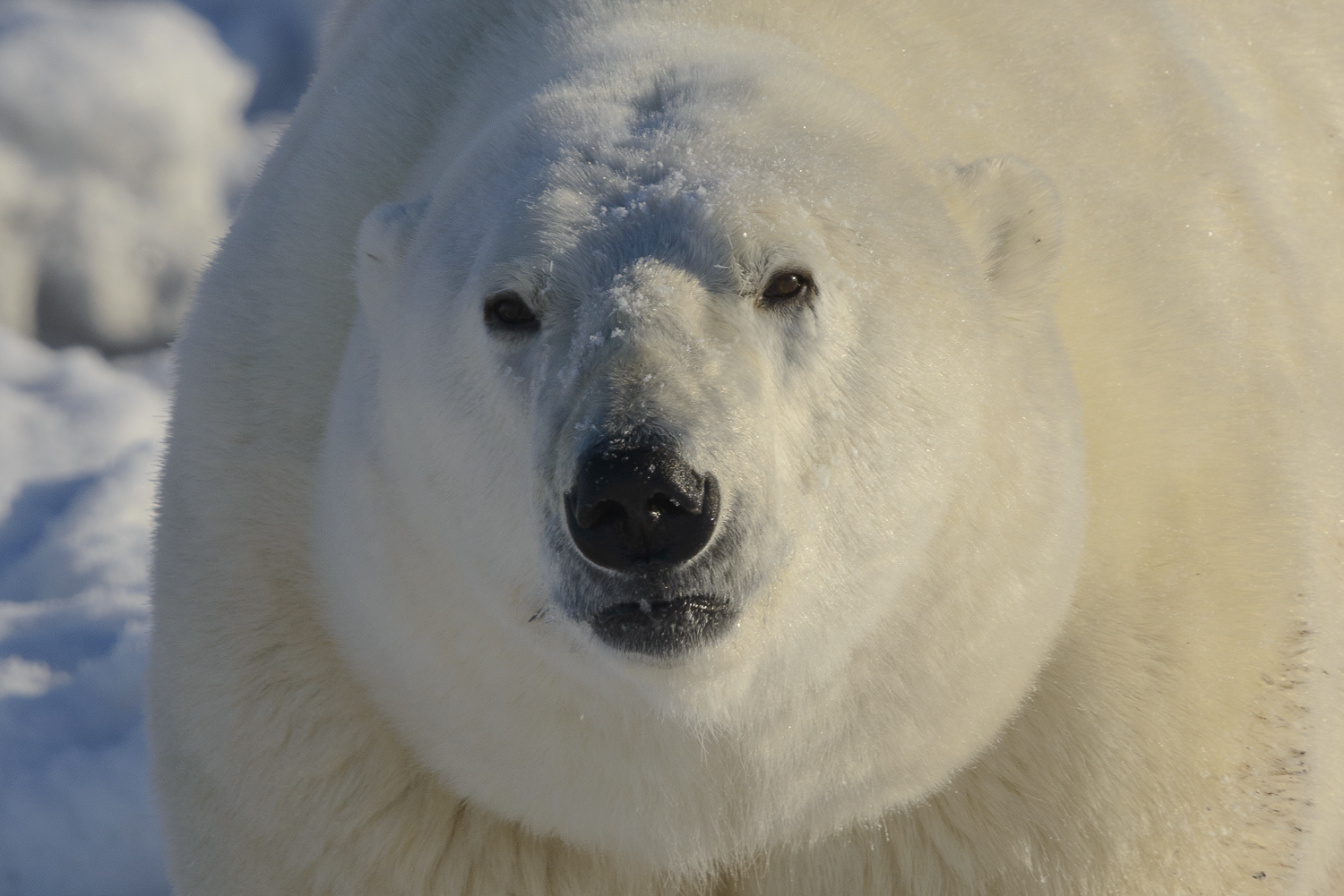 Portrait of a Very Large Polar Bear