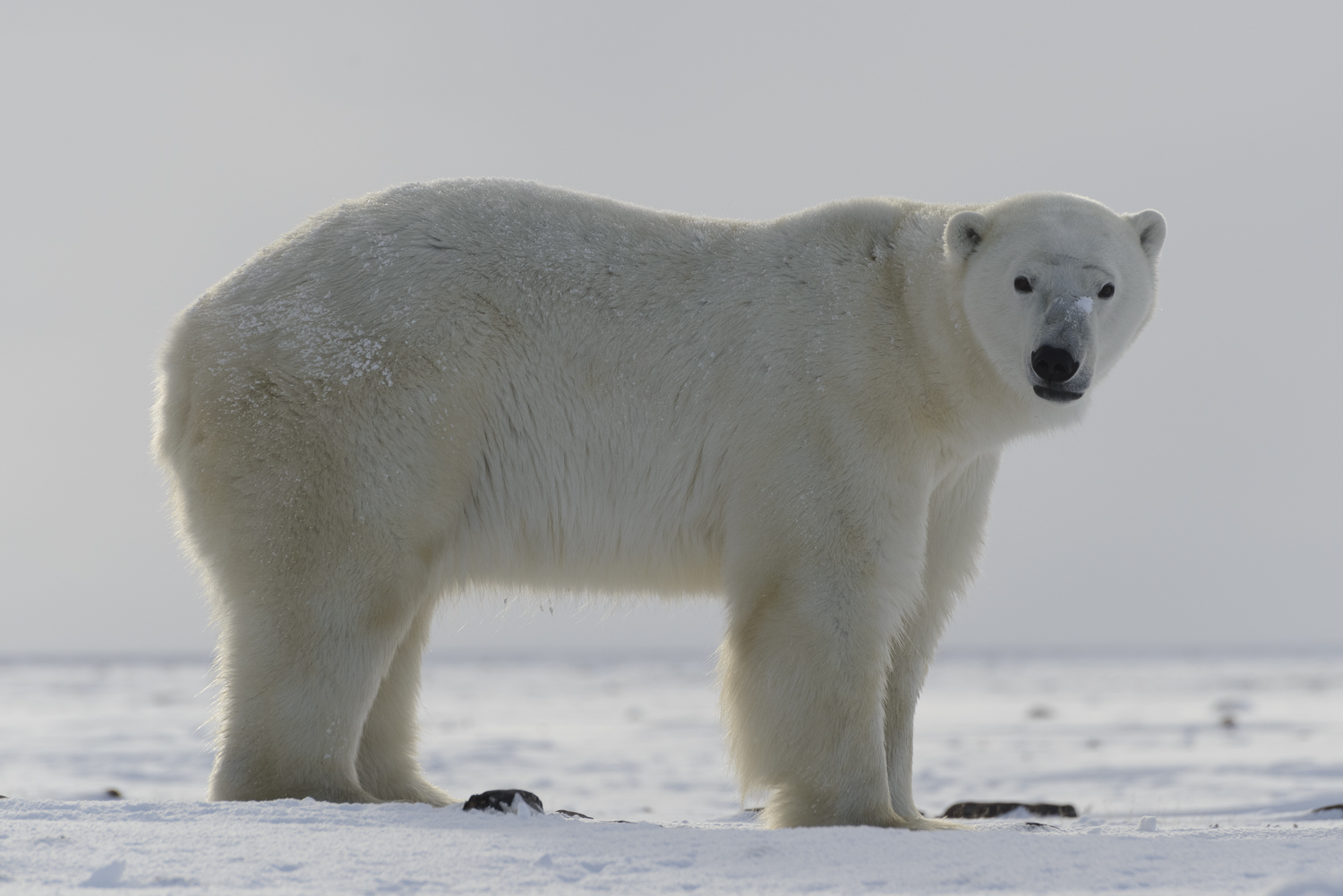 Polar Bear on the Tundra