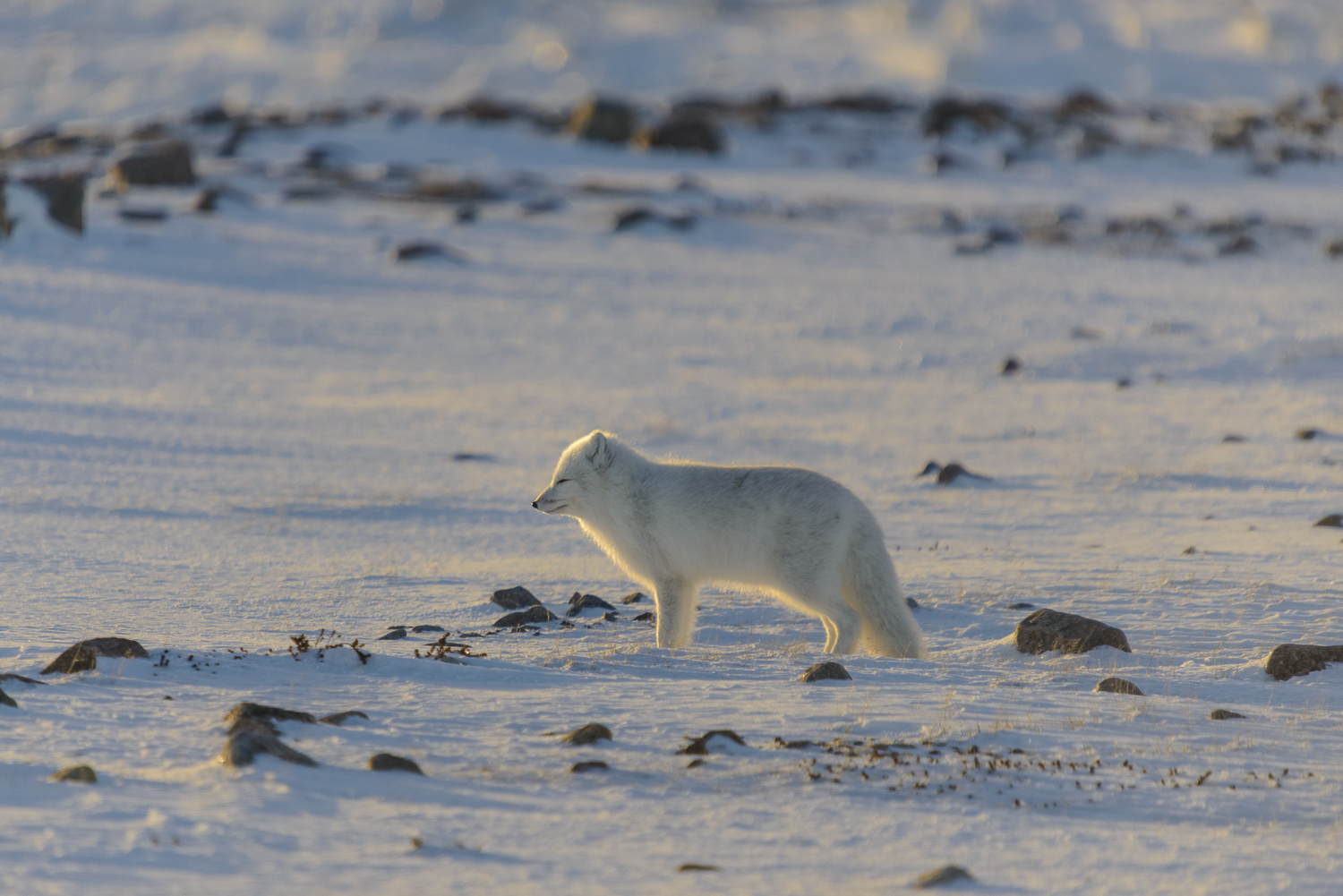 Arctic Fox Facing the Low Arctic Sun
