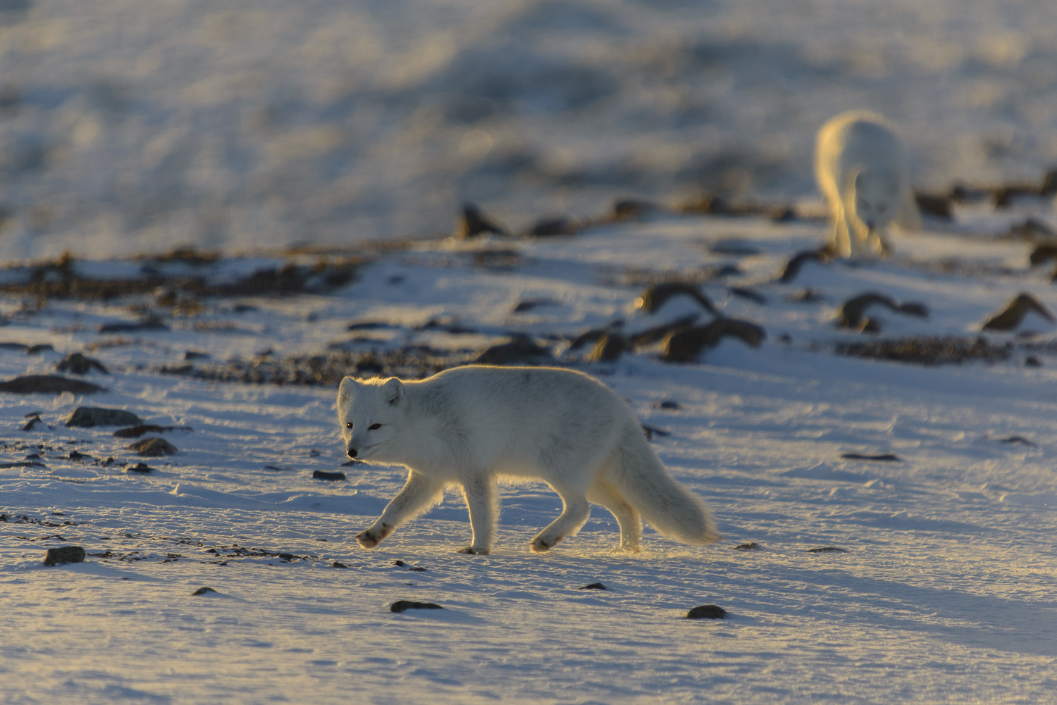 Arctic Foxes at Evening
