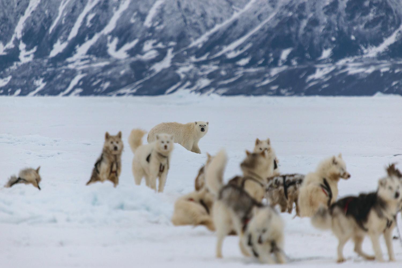 Polar Bear and Inuit Sled Dogs