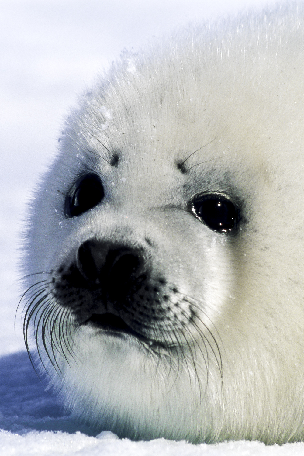 Portrait of a Whitecoat Seal