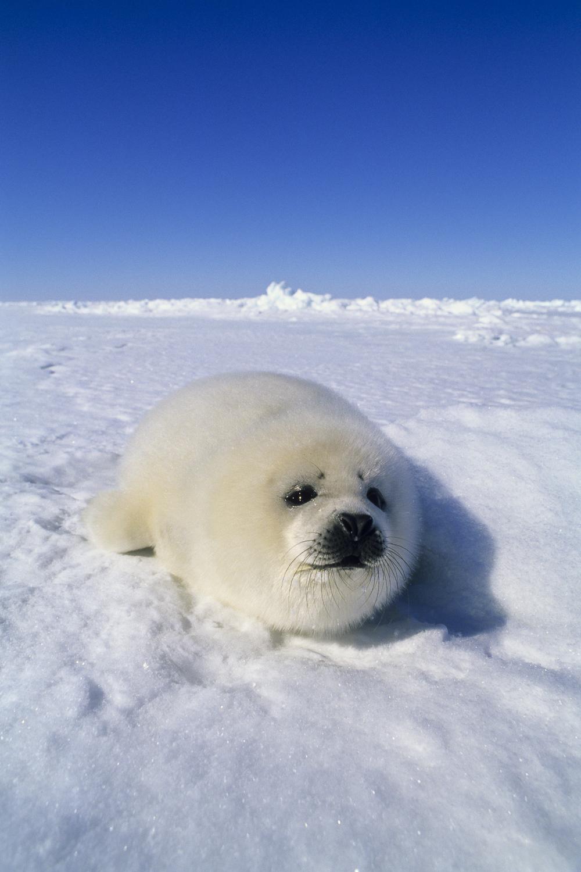 Whitecoat Seal on the Sea Ice