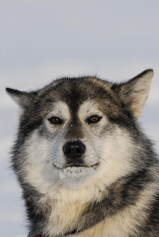 Wise Sled Dog