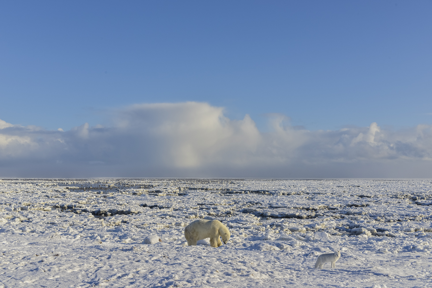 Polar Bear Digging For Clams Accompanied by an Arctic Fox