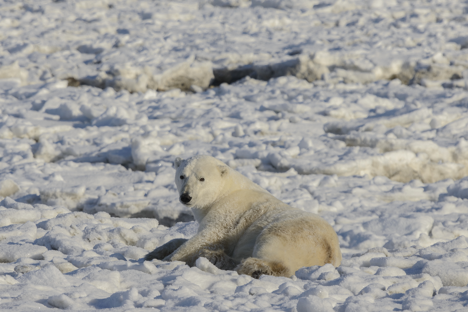 Polar Bear Relaxing at the Edge of the Ice