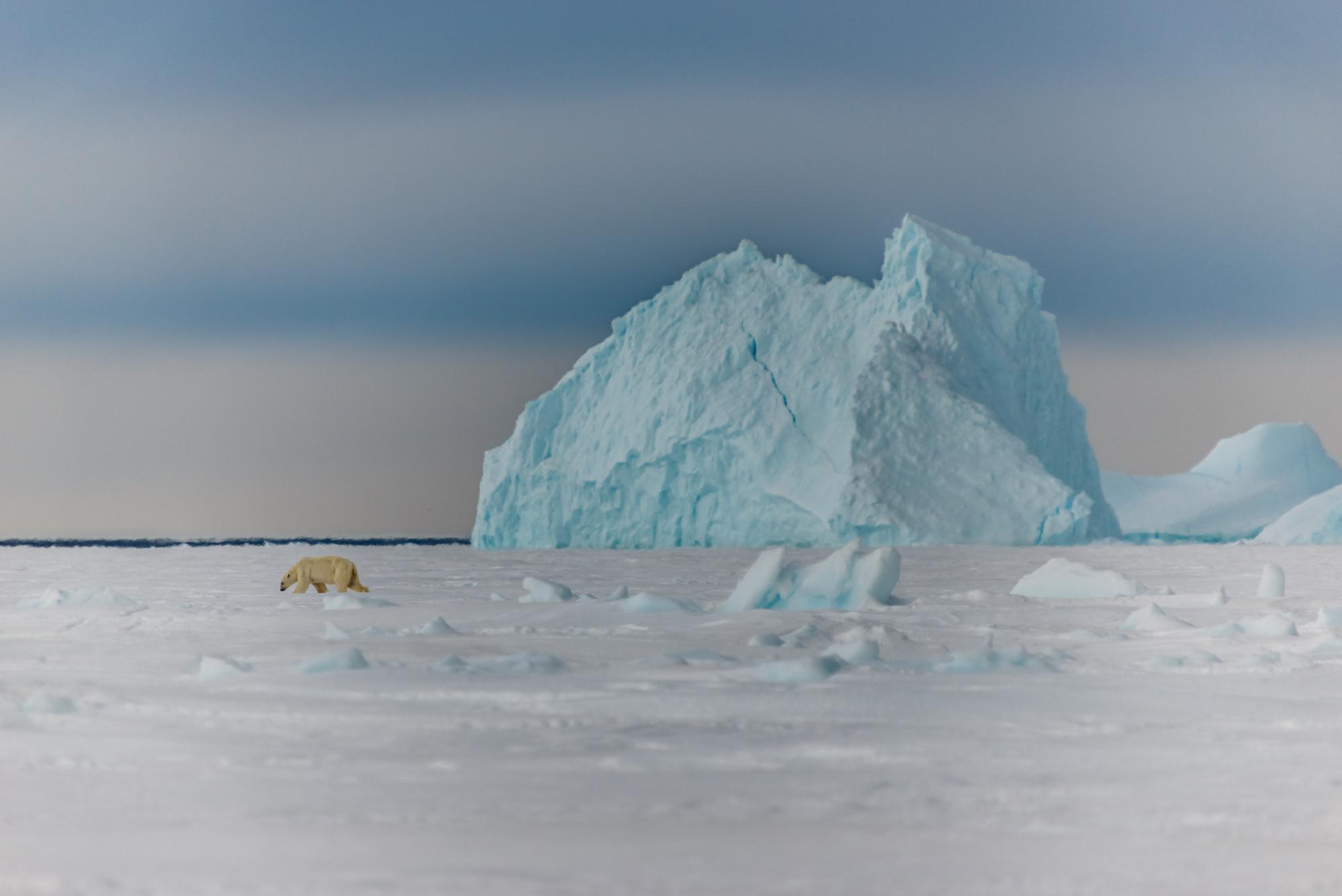 Polar Bear and Iceberg at the Floe Edge