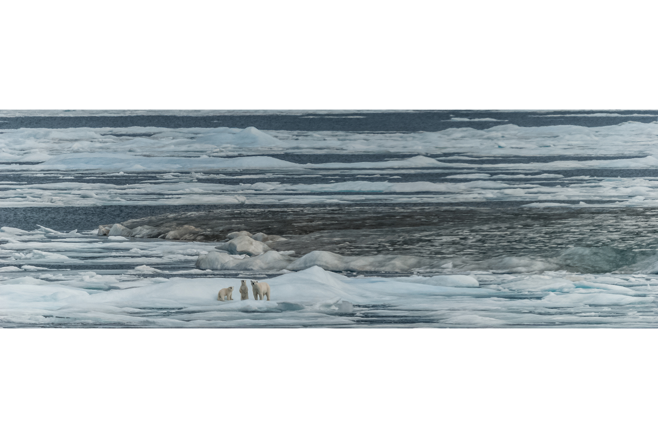 Polar Bear Mother and Cubs on the Melting Ice