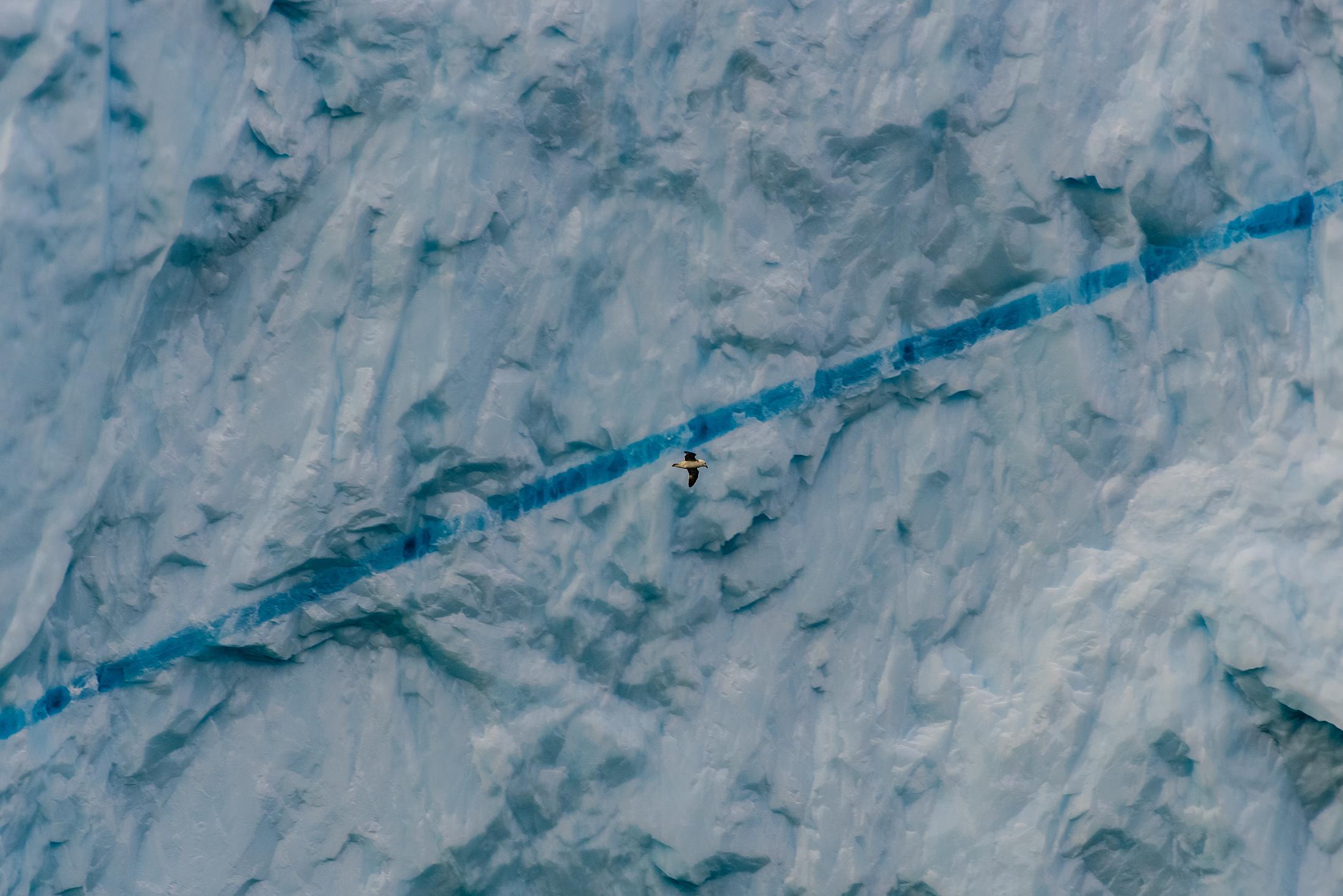 Northern Fulmar and Blue Ice Streak
