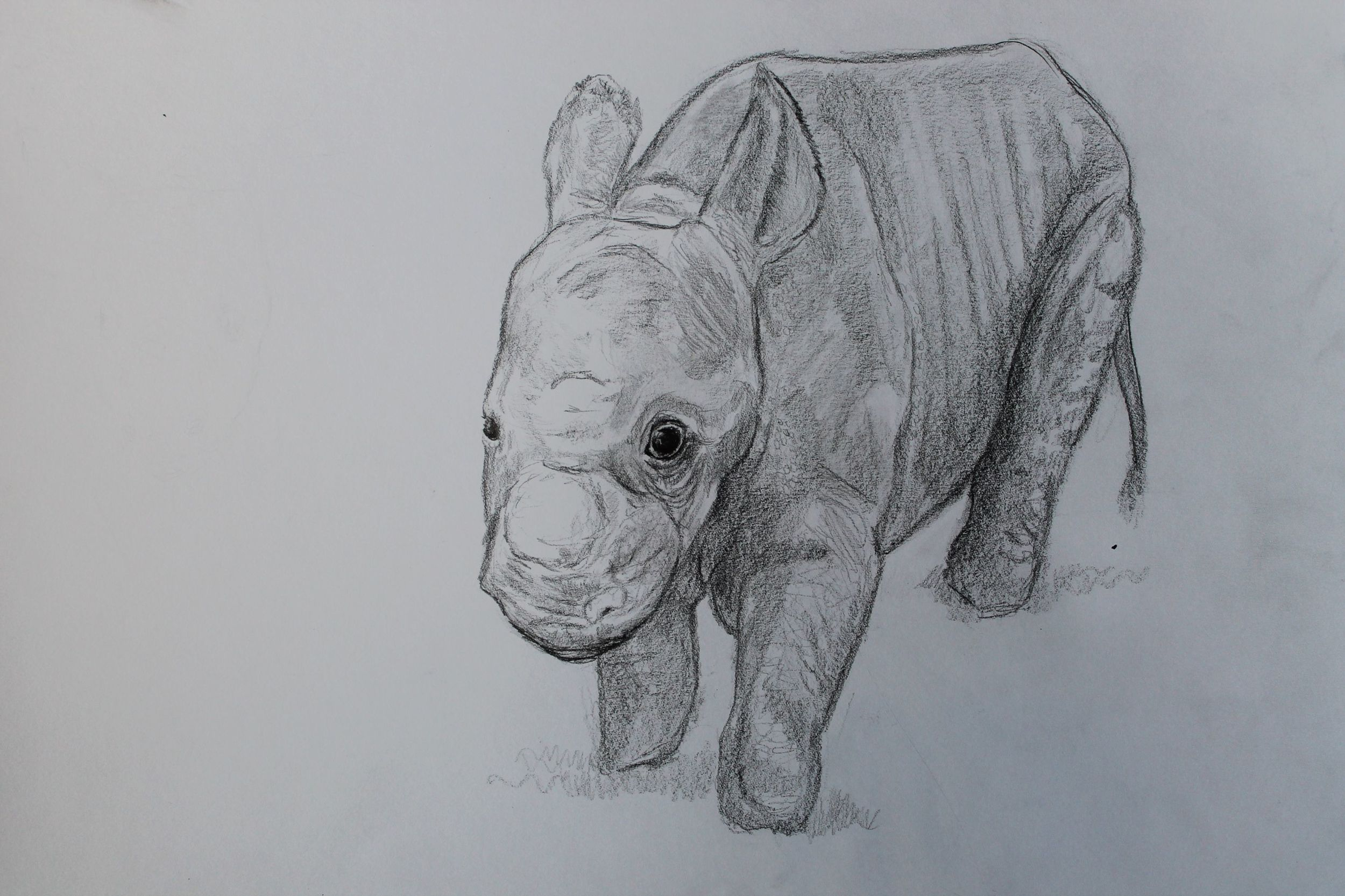 rhino-calf-pencil.jpg