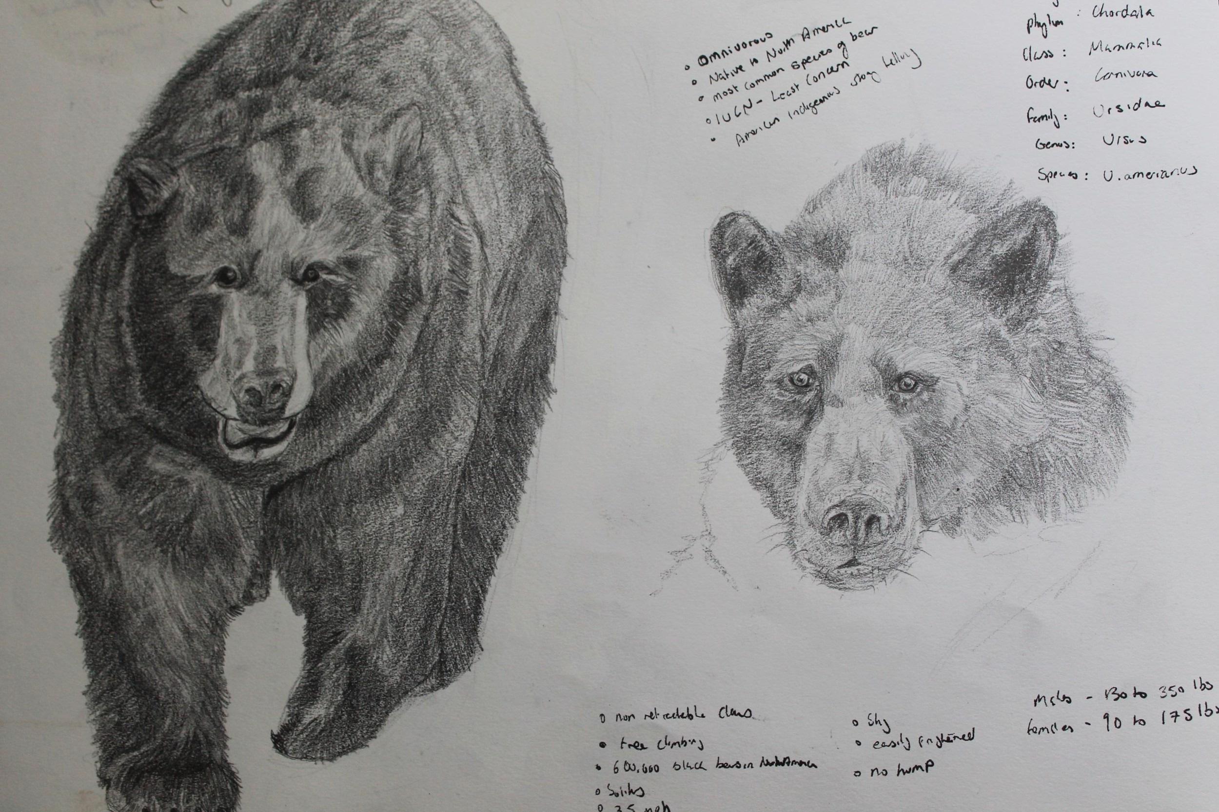 This page showing some bear drawings and a few quick research notes.