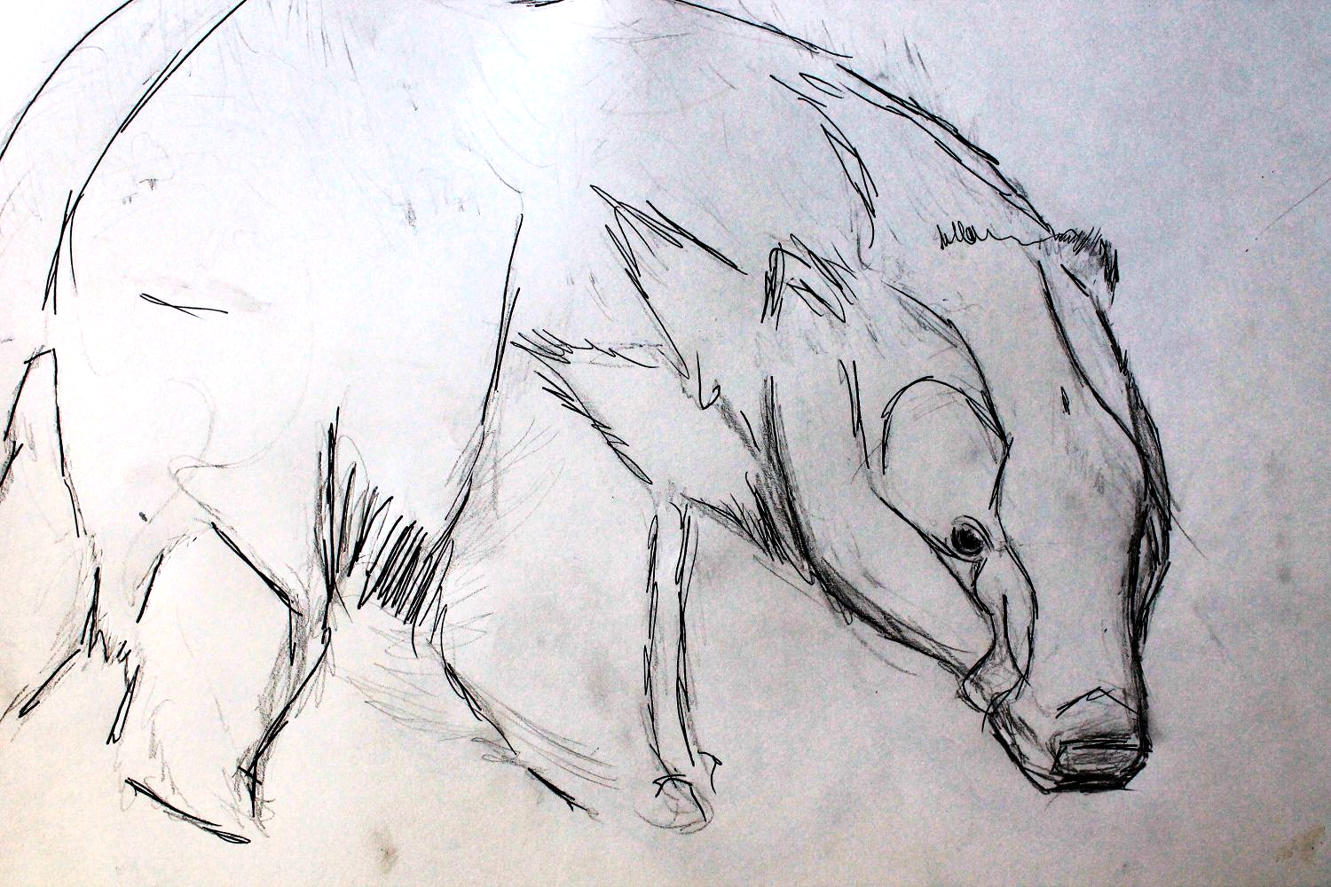 badger-sketch