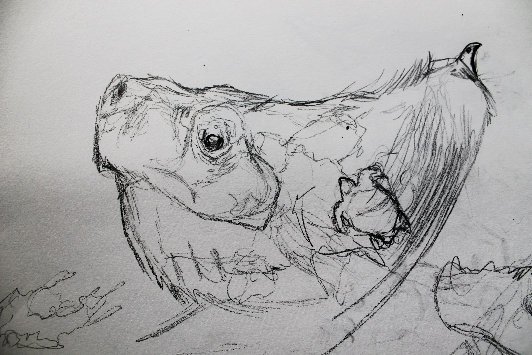 eagle-tortoise-sketch3.jpg.JPG