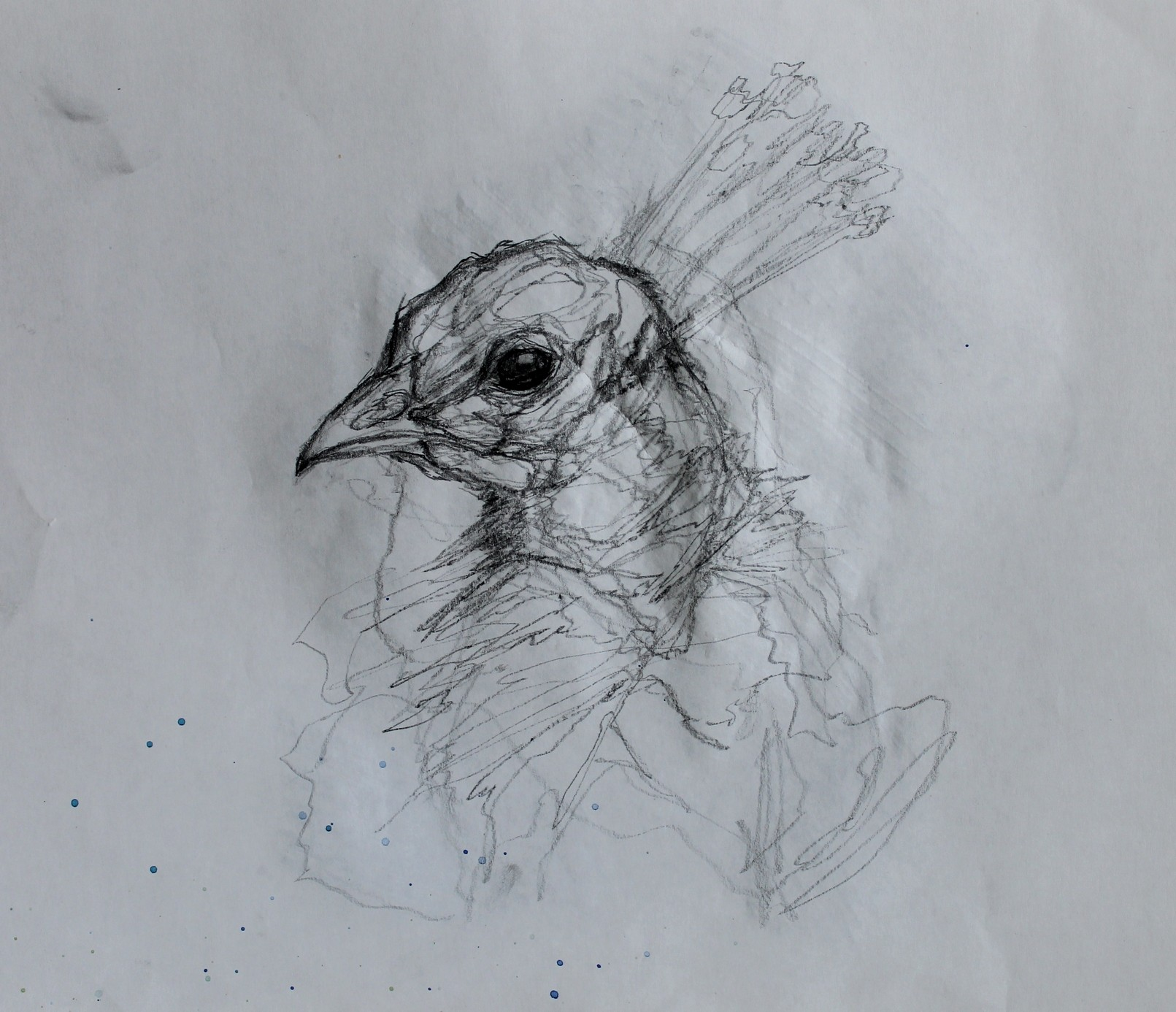 peacock4.jpg