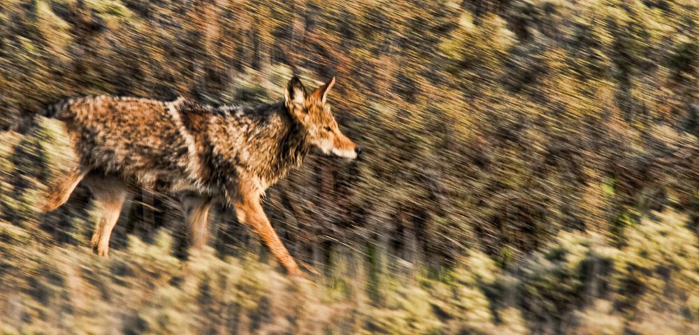 Coyote, Grand Tetons