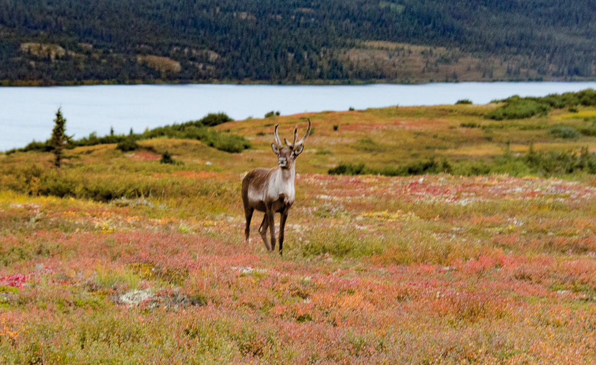 Caribou, aka Reindeer