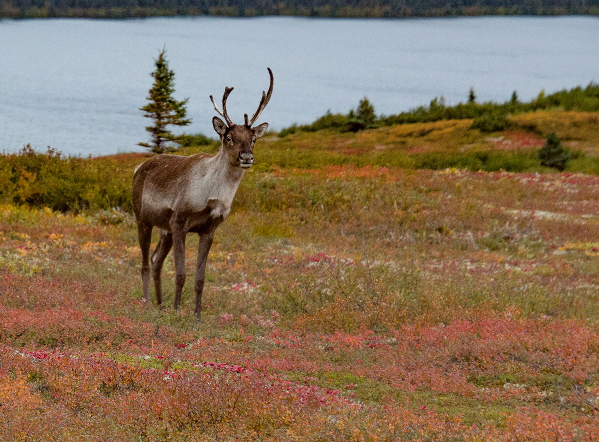 Caribou (young male)