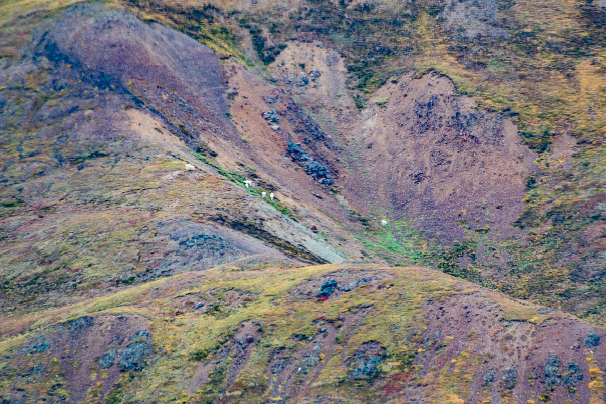 More Dall Sheep, fall color ground cover