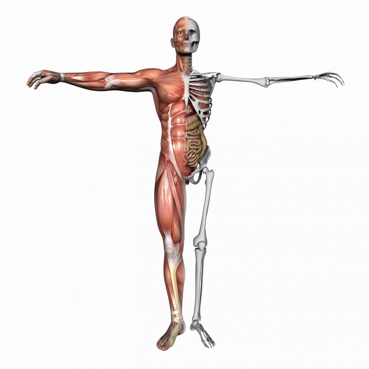 musculo.jpg