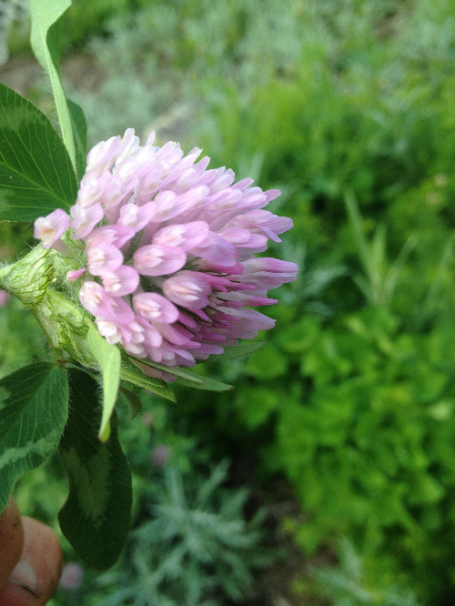 The small and mighty Red Clover.