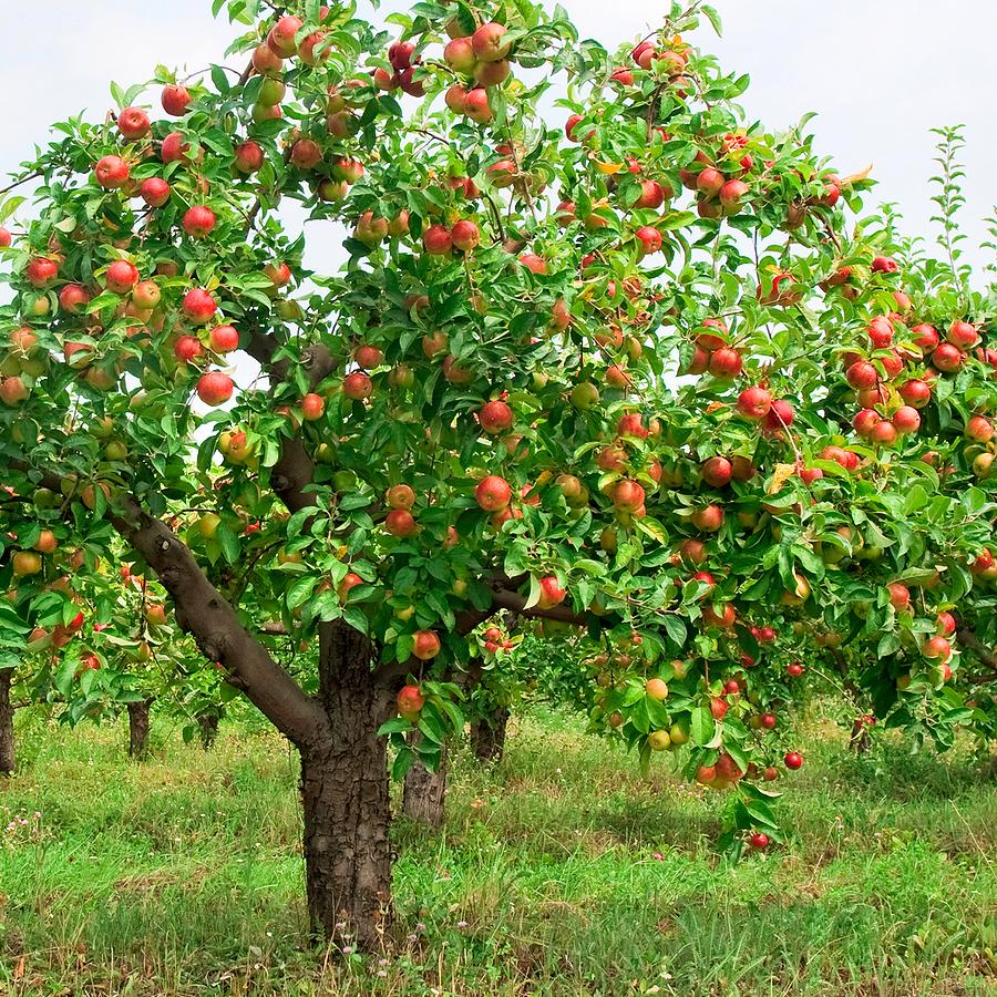 We'll call it...a redfruit bush!