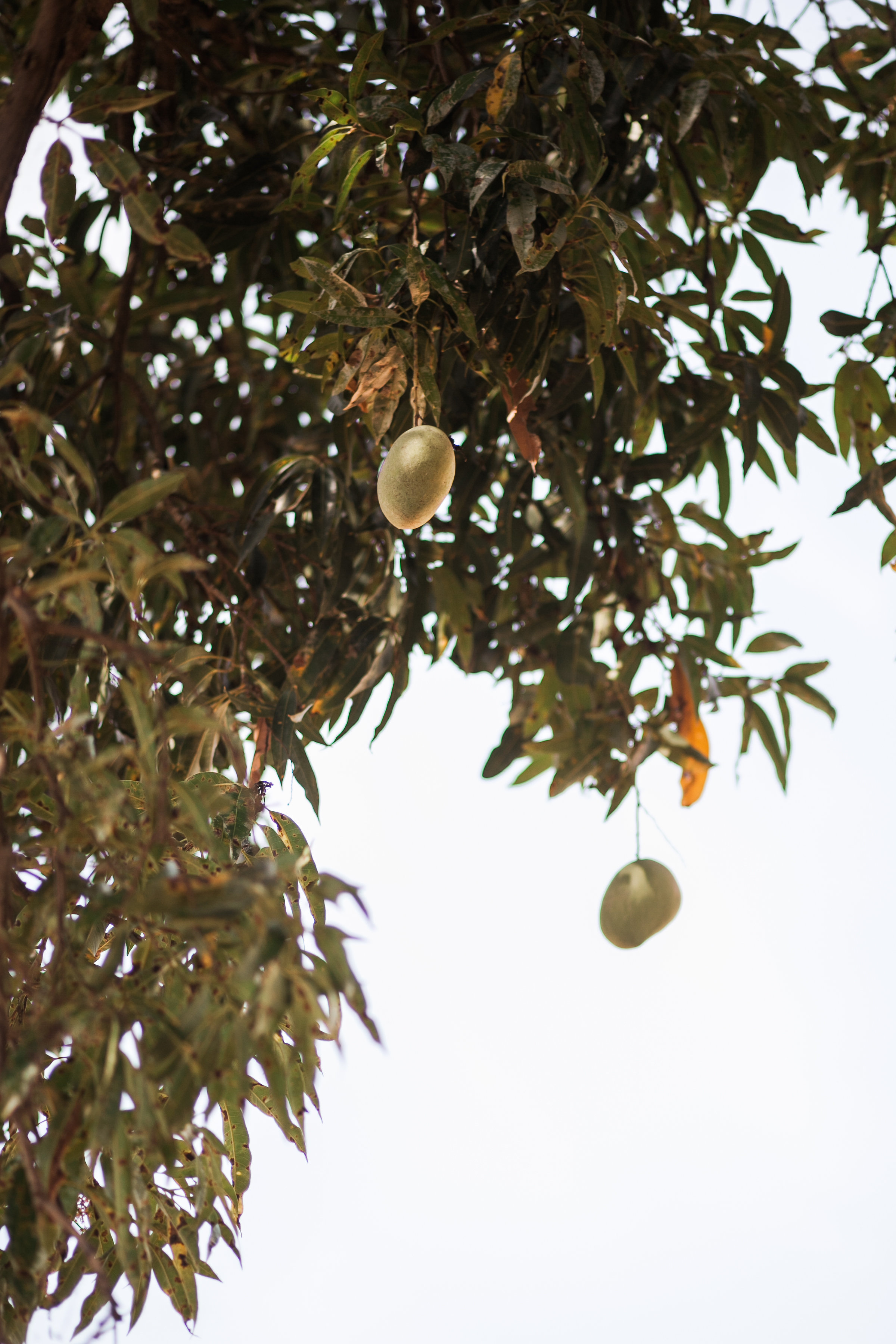 "Mango Tree School was built next to a large mango tree on the property. As the founder and chair of the board, Jeremiah Rukukuye, shared about the founding of the school, ""The shade of the mango tree provides refreshing and a cool breeze to whoever sits underneath it. The tree still produces fruit each year."" The school follows in those footsteps and provides education and refreshing to its students."