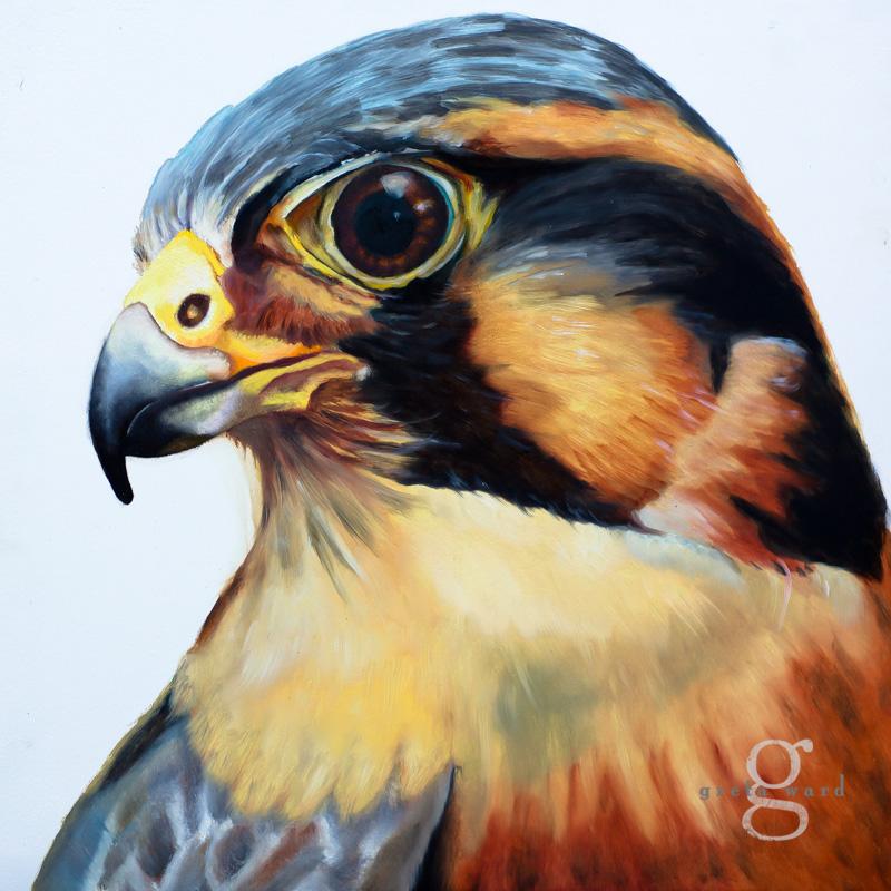 Northern Aplomado Falcon