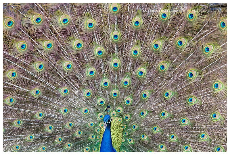 is it possible to take a bad picture of a peacock?