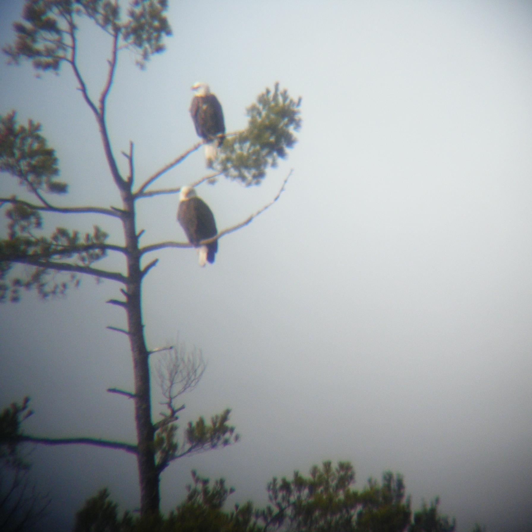 Eagle at WLL.JPG