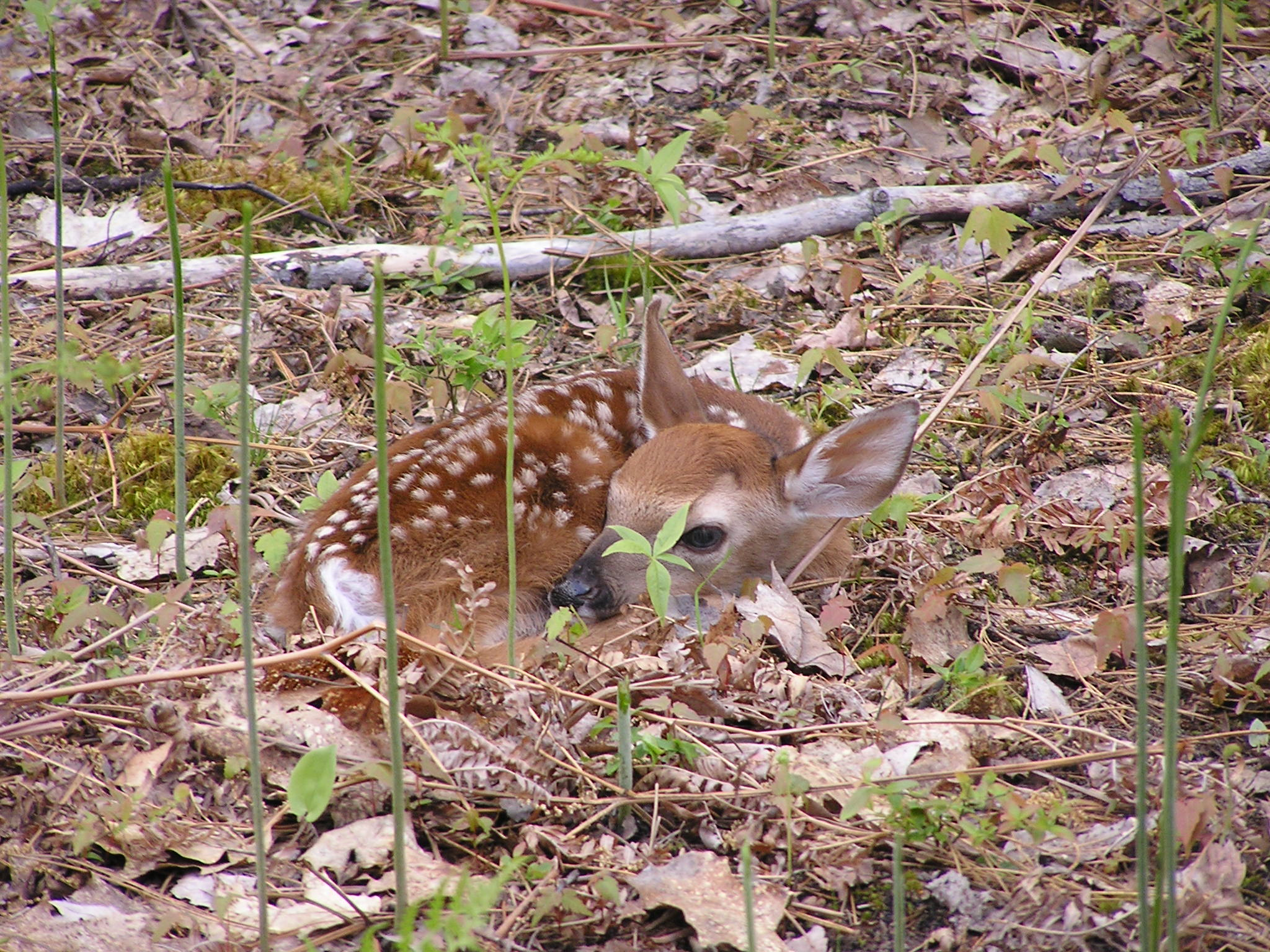 Fawn seen on Walled Lake Property