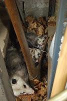 Mum+Possum+%26+kids.JPG