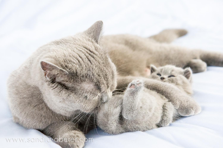 BSH Kitten