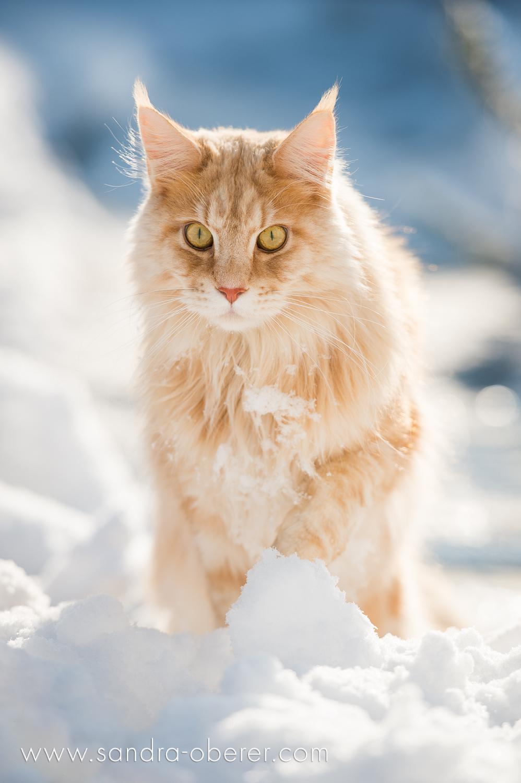 Maine Coon Red Silver, Lion King, Cat in Snow, Katze Schnee, Katze Winter
