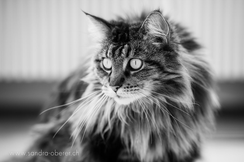 Katzenfotograf Sandra Oberer