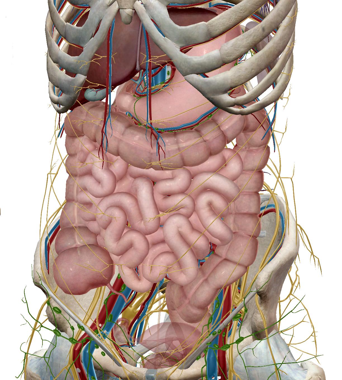 intestines.png