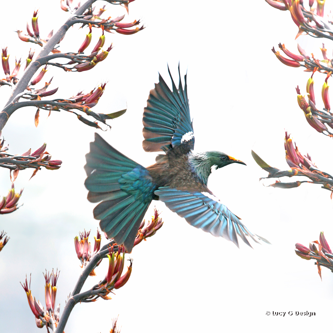 'The flying Tui' glass wall art 51x51cm