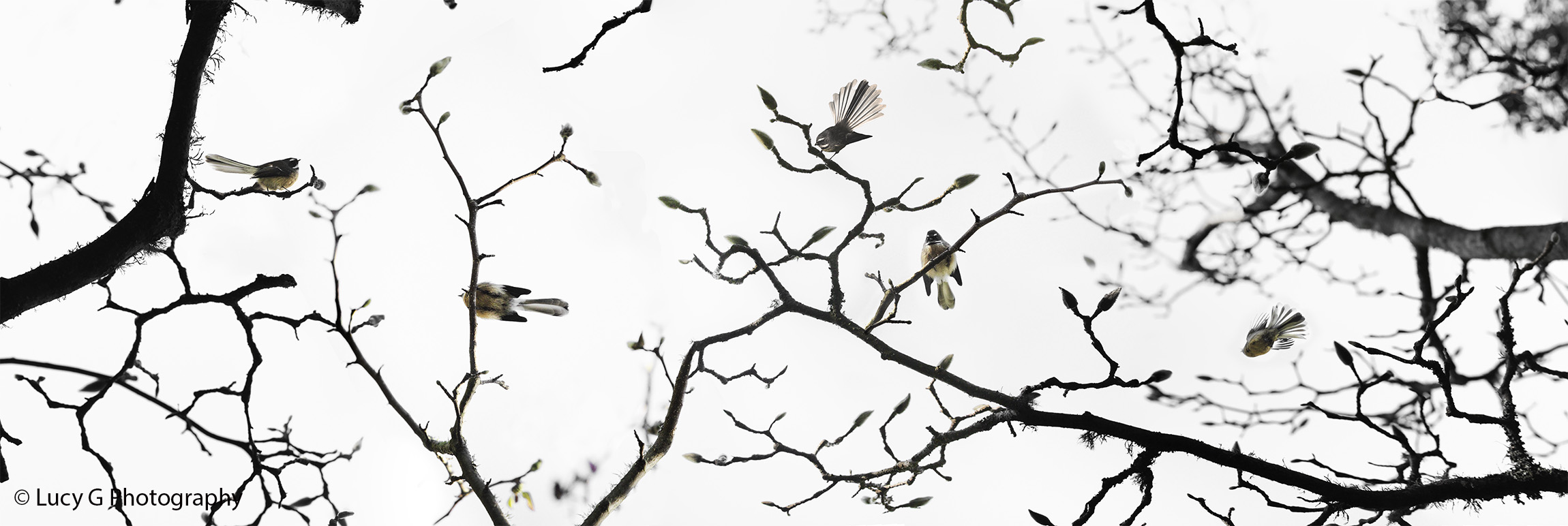 NAT 2015-2 Fantail on Blossoms (b/w background)