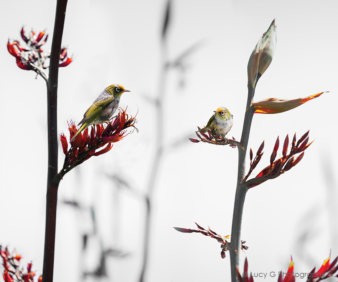 Silvereye on Flax (no blue) option 2   900x750mm