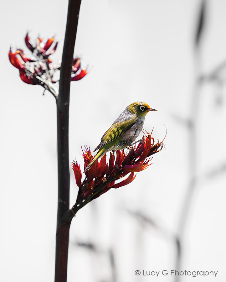 Silvereye on Flax 600x750mm (no blue)