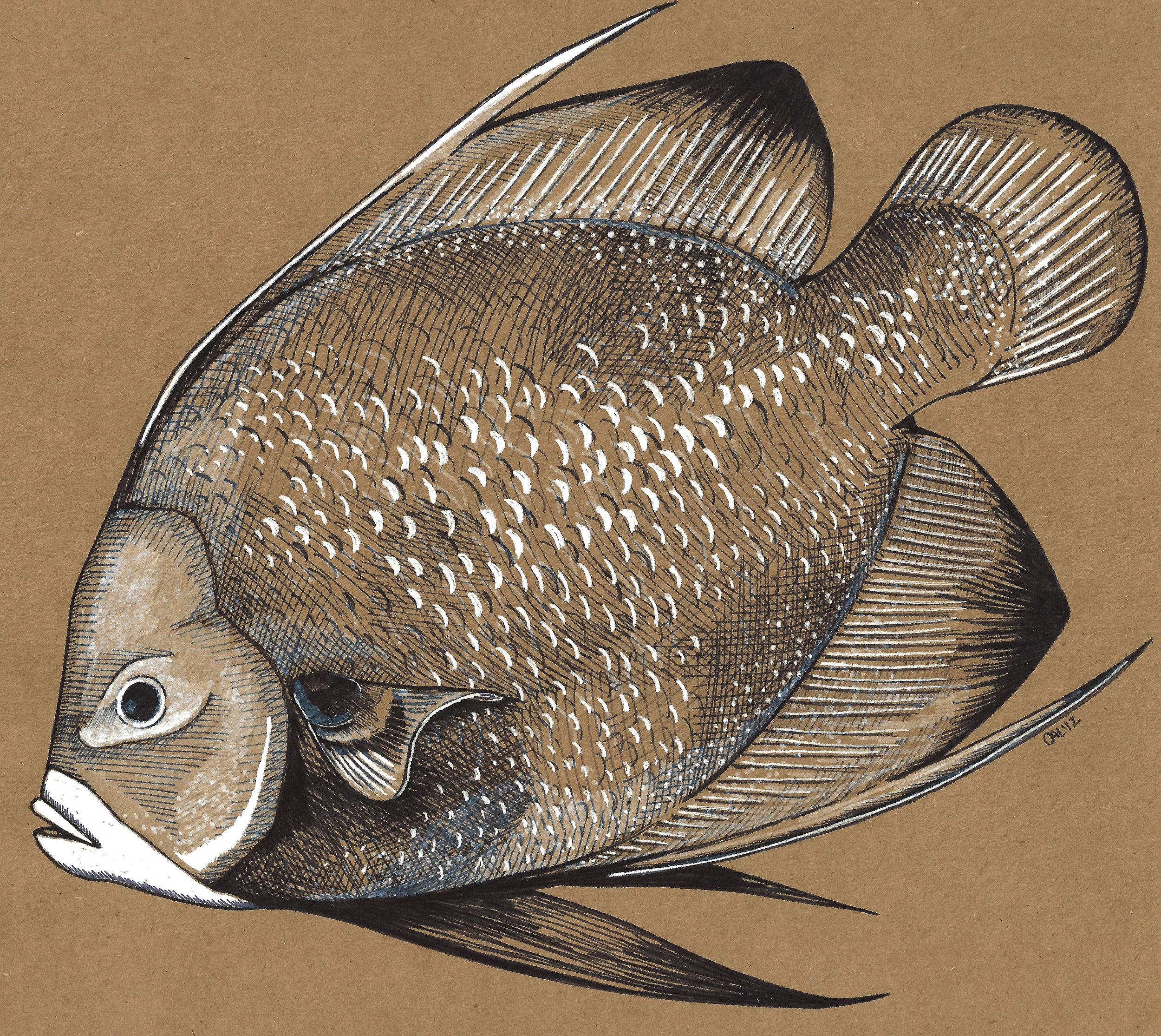 angelfish 1.jpg