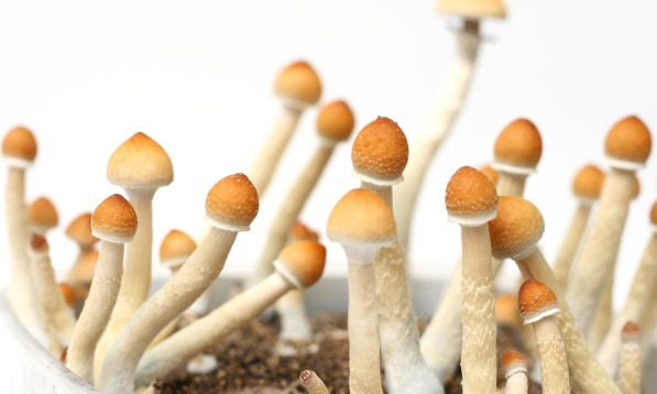 Mushroom possession can carry serious felony penalties in NC.