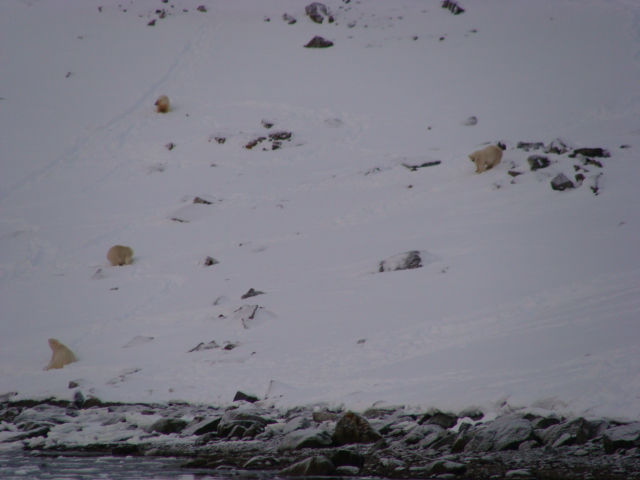 7 Polar Bears eating a fin whale carass