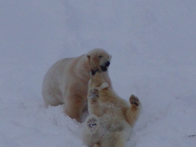 Yong female and large male polar bears playing