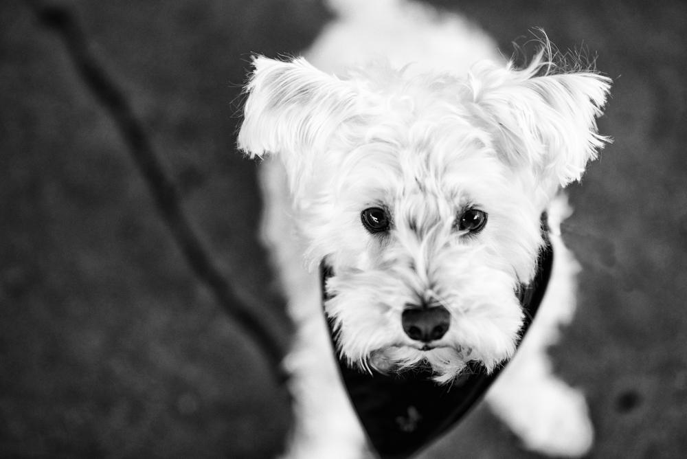 schnauzer-lookup-dog