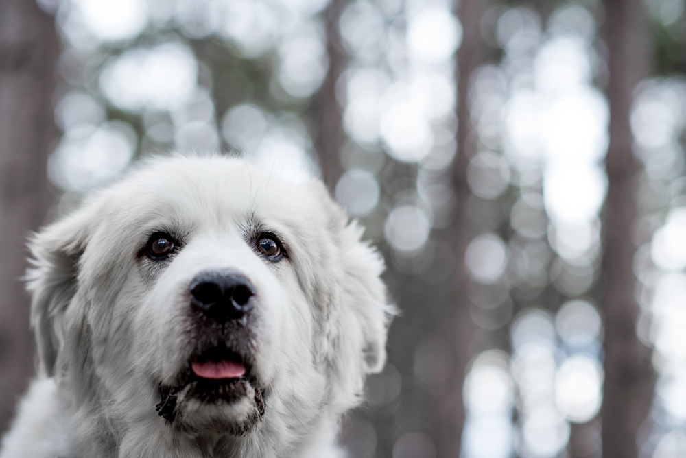 great pyrenees bokeh
