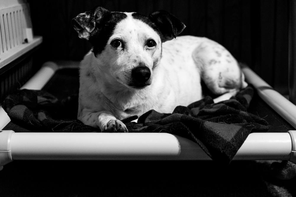 dog Kuranda bed terrier